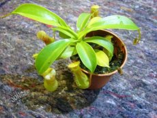Nepenthes spec. Borneo