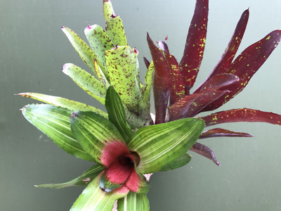 Angebot Neoregelia Medium Mix 1