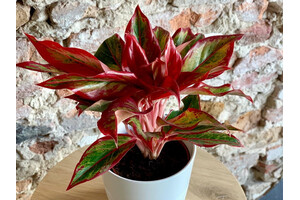Aglaonema Flame
