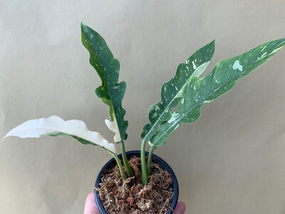 Philodendron Ring Of Fire Cutting