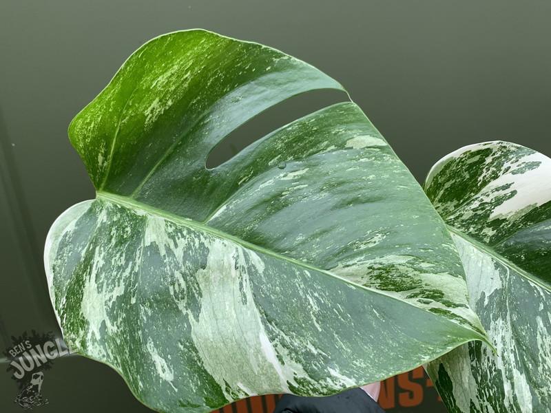 monstera deliciosa variegata cutting 39 90