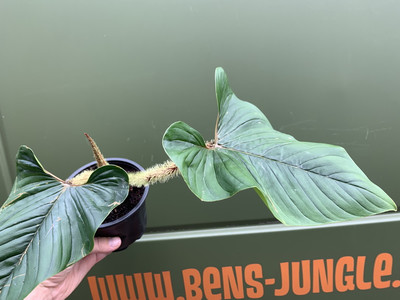 Philodendron serpens