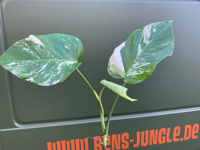 Monstera variegata Motherplant