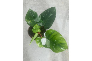 Philodendron white Princess XL