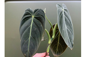 Philodendron melanochrysum Cutting/Ableger XXL