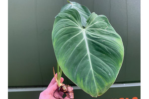 Philodendron gloriosum Ableger/Cutting