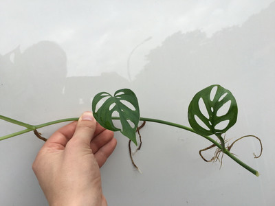Angebot Monstera acuminata Ableger/Cutting