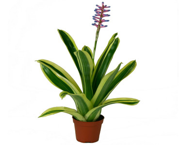 Aechmea blue berry