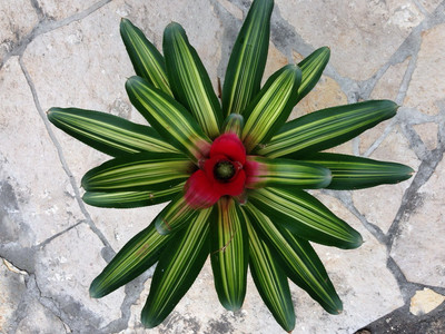 Neoregelia green stripes (bromelie)