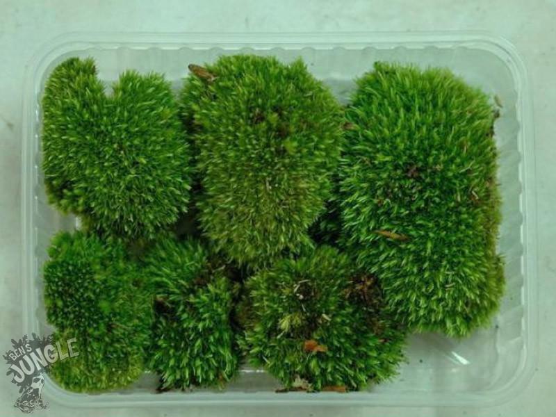 Atemberaubend Ben´s Jungle Moosmix 20g (Moossporen), 8,50 € &JA_98